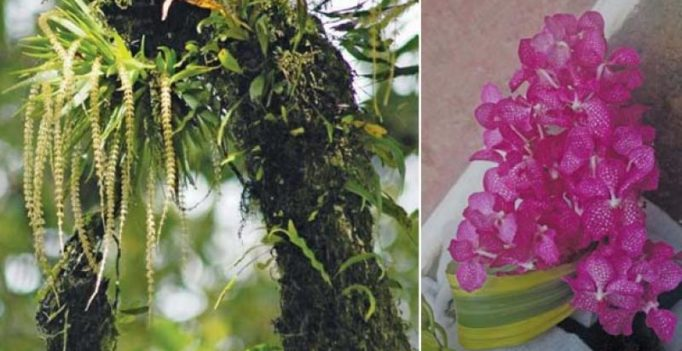 Wild orchids in Nilgiris in full bloom