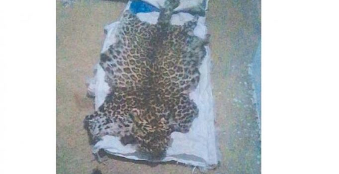 Bengaluru: Man held trying to sell leopard skin